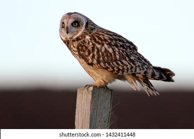 Wild Short-eared Owl (Asio flammeus) on a fence post. Taken in Angus, Scotland, UK.