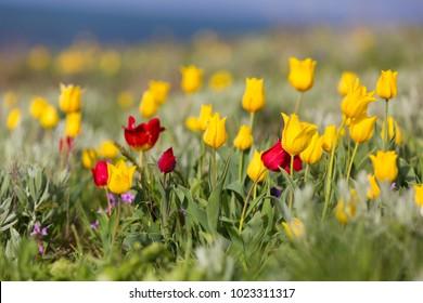 Wild Shrenka Tulip