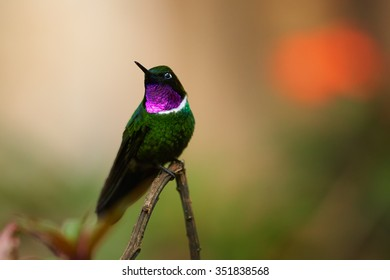 Wild and shy hummingbird Gorgeted Sunangel Heliangelus strophianus perched on twig showing its shining violet throat with colorful green and orange background. Ecuador.