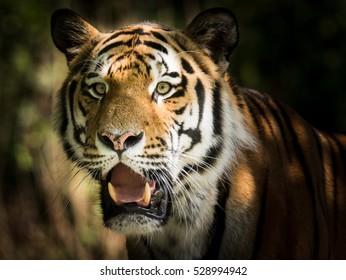 Wild siberian tiger (Panthera tigris altaica) in the jungle