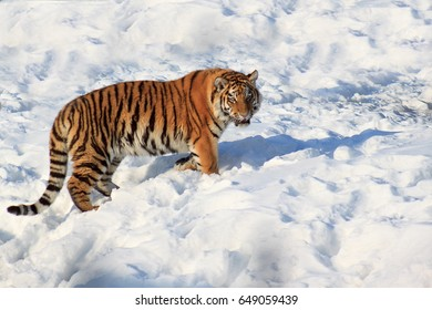 Wild siberian tiger walking on white snow. Sunny winter morning.