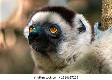 Wild sifaka lemur, (Verreaux's sifaka), portrait, Madagascar.