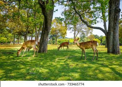 Wild Sika deers in Nara Park, Japan