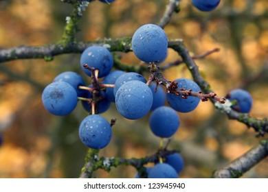 Wild sloes berry