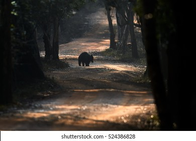 Wild sloth bear, Melursus ursinus, alone animal crossing the road of Wilpattu national park, Sri Lanka. Early morning wildlife photography.