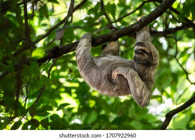 Wild sloth hanging on tree with funny face and relaxed look, perfect portrait of chilled animal in the Rainforest of Costa Rica scratching the belly, Bradypus variegatus, brown-throated sloth