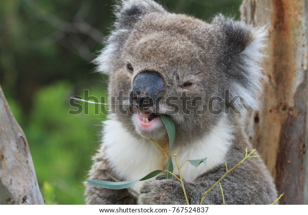 wild smiling eating koala in south australia