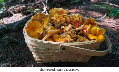 Wild Smooth Chanterelles and Cinnabar Chanterelles in a foraging basket. Wild edible mushrooms harvested in the Blue Ridge Mountains. Asheville, North Carolina