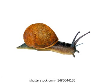 Wild snail with semi-brown cochlear