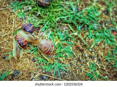 Wild snails crawling on a dewy green grass after rain in a garden