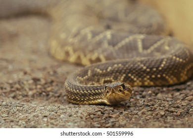 wild snake close up portrait in a sand