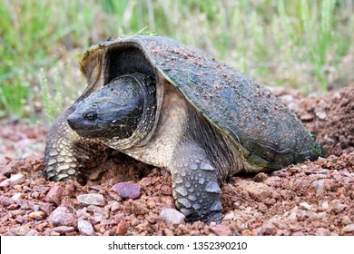 Wild Snapping turtle laying eggs in a gravel dug nest