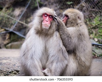 Wild snow monkey having a relax time with it's mate  - Yamanouchi, Japan