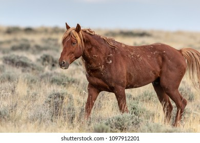 Wild Sorrel Mustang