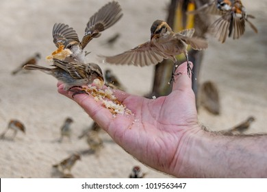 Wild sparrows eating bread from outstretched hand
