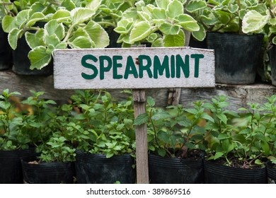 Wild spearmint growing in a garden. Spearmint sign.