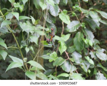 Wild Spider found in Kerala India Asai