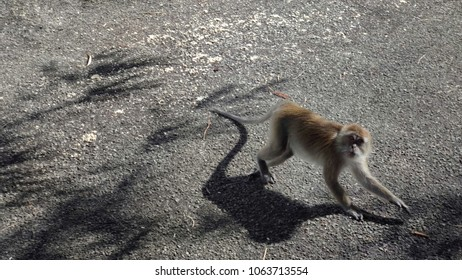 A wild spooked monkey running away cautiously while facing the camera. Cercopithecine primate native to Southeast Asia.