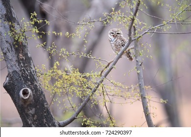 Wild Spotted Owlet, Athene brama, small owl with yellow eyes, perched on branch in indian forest  on the beginning of wet season. Spotted Little Owl in its natural environment. Ranthambore park.