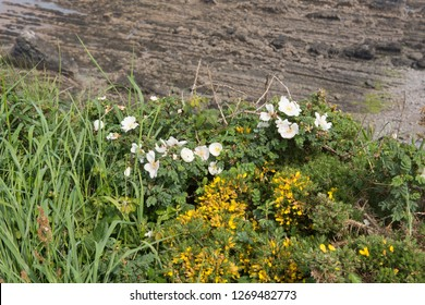 Wild Spring Flowering Burnet Rose (Rosa pimpinellifolia)  and Common Gorse (Ulex europaeus) by a Beach on the South West Coast path in Rural Cornwall, England, UK
