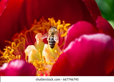Wild spring flowers - stamens of peony with a bee - macro