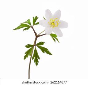 Wild spring wood Anemone (Anemone nemorosa) isolated on white background