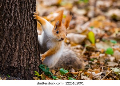 A wild squirrel captured in a cold sunny autumn day, funny cute squirrel is on the tree in autumn park. Colorful nature, fall season concept
