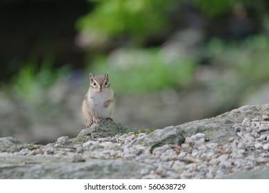 wild squirrel in the forest