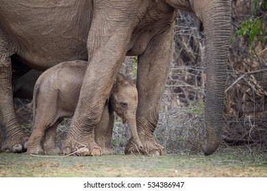 Wild Sri Lankan elephant, Elephas maximus maximus, detail of new-born calf protected by mother. Baby elephant among legs of the mother. Yala National park, Sri Lanka.