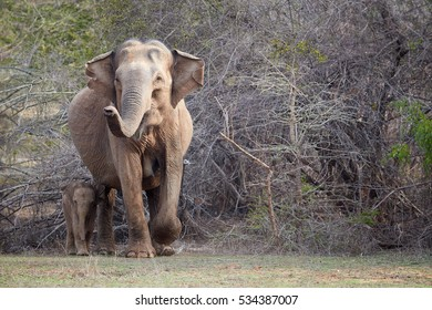 Wild Sri Lankan elephant, Elephas maximus maximus, mother with raised trunk, protecting new-born elephant, against dense bush in background. Action wildlife scene. Yala National park, Sri Lanka.