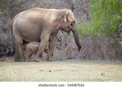 Wild Sri Lankan elephant, Elephas maximus maximus, mother protecting new-born elephant, against dense bush in background. Yala National park, Sri Lanka.