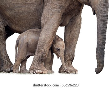 Wild Sri Lankan elephant, Elephas maximus maximus, detail of mother elephant with new-born calf, isolated on white background. Baby elephant among legs of the mother. Yala National park, Sri Lanka.