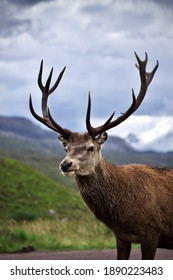 Wild Stag in Glencoe, the Scottish Highlands.