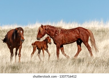 Wild Stallion and Foal