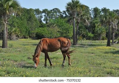 Wild stallion grazing in a field on Cumberland Island, Georgia