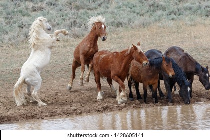 Wild stallion mustangs in fight