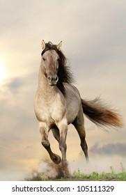 wild stallion running in sunset