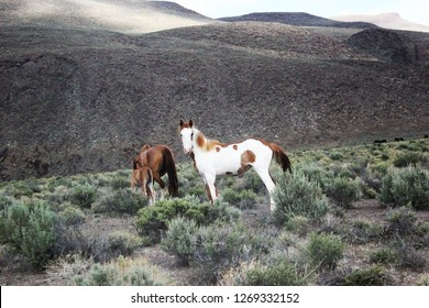 Wild Stallion watching over mare and foal on the Playa near Summit Lake Nevada.  It was May 19th 2018 and it had just rained