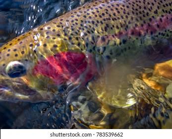 wild steelhead trout in Idaho                  abstract