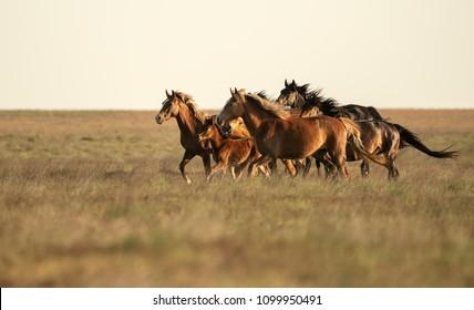 wild steppe horses of Kalmykia