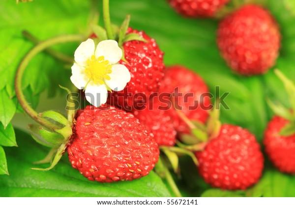 Wild Strawberries Flower