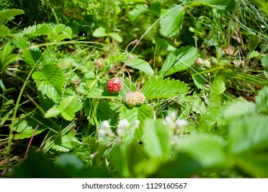 Wild strawberries in a forest