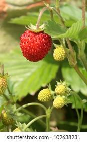 Wild strawberries in the garden.