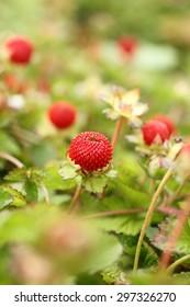 Wild strawberries in a garden.