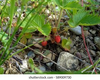 Wild Strawberries Growing on Rocking Soil