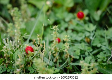 wild strawberries in meadow - landscape