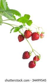 Wild strawberries on a white background