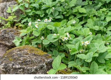 wild strawberries with white flowers in the stone bed