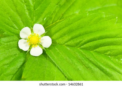 A wild strawberry flower embedded in green leaves