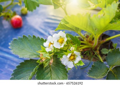 Wild Strawberry Flower.Strawberry flowering on a farm in the spring.